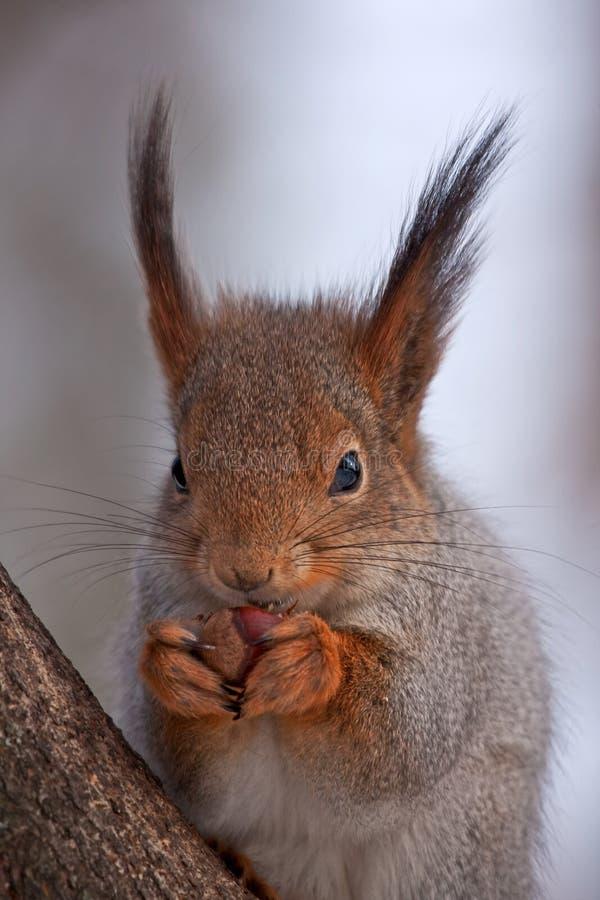 Primo piano di cibo dello scoiattolo immagini stock libere da diritti