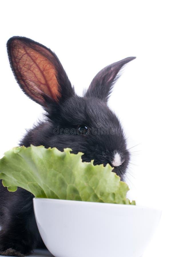 Primo piano di coniglio nero sveglio che mangia insalata verde immagine stock