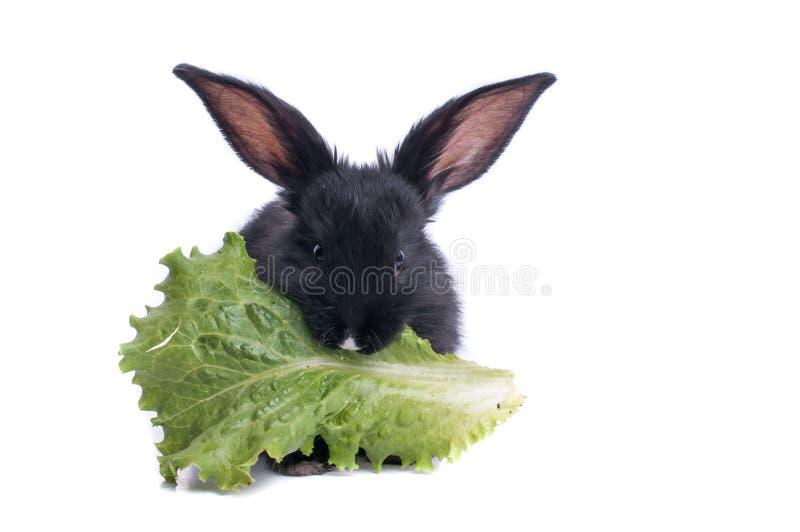Primo piano di coniglio nero sveglio che mangia insalata verde fotografia stock libera da diritti