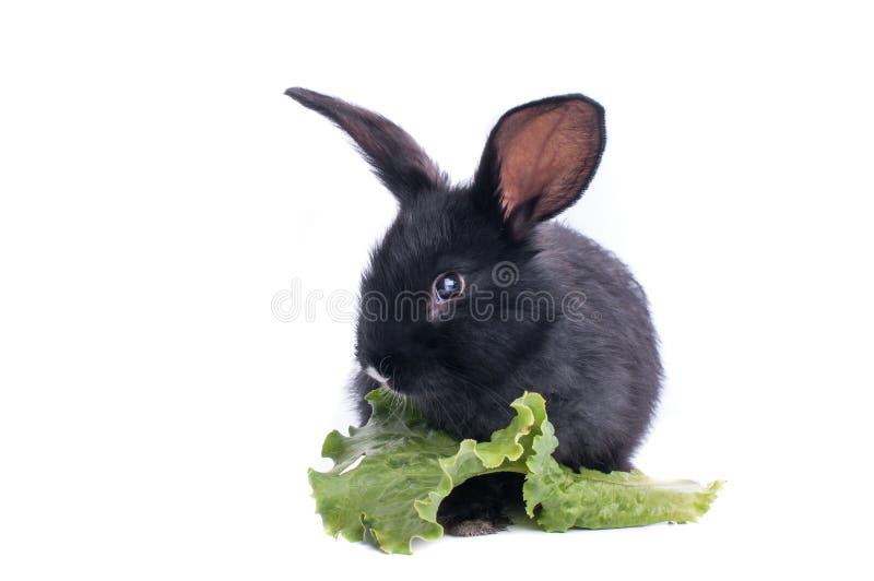 Primo piano di coniglio nero sveglio che mangia insalata verde fotografia stock