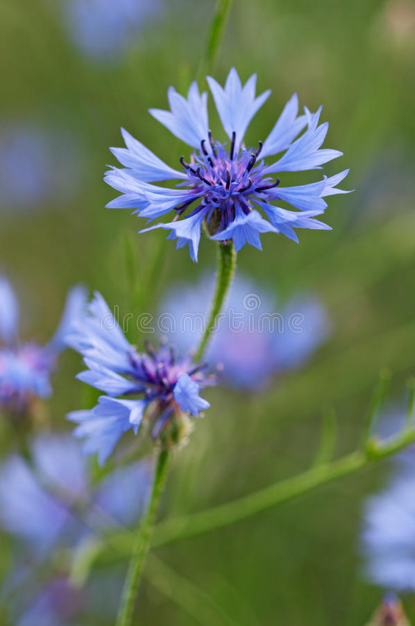 Primo piano di cornflower fotografia stock libera da diritti