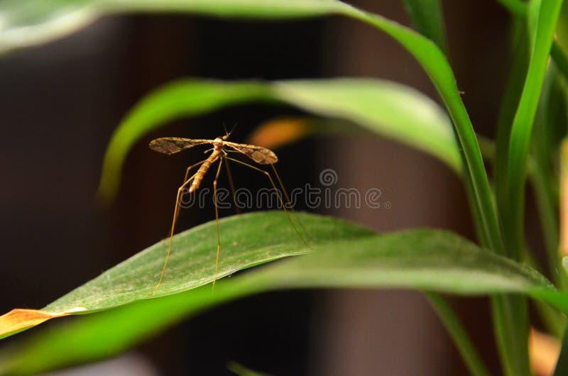 Primo piano di Crane Fly marrone eretto su una pianta da appartamento dentro una casa nel Missouri di nord-ovest fotografie stock