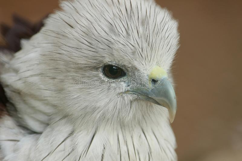 Primo piano di Eagle calvo al parco del COV fotografie stock libere da diritti