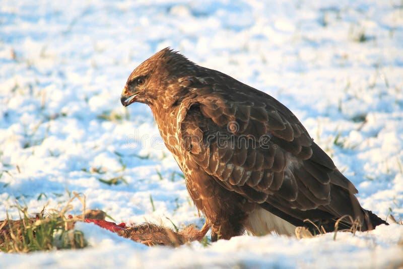 Primo piano di Eagle Perching su Rock fotografia stock