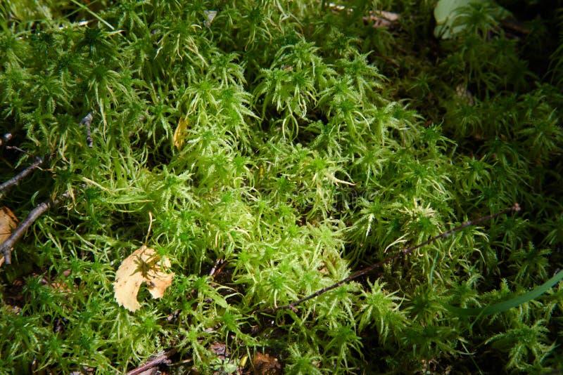 Primo piano di erba verde e di muschio nelle foreste o nella brughiera di Europa fotografia stock libera da diritti