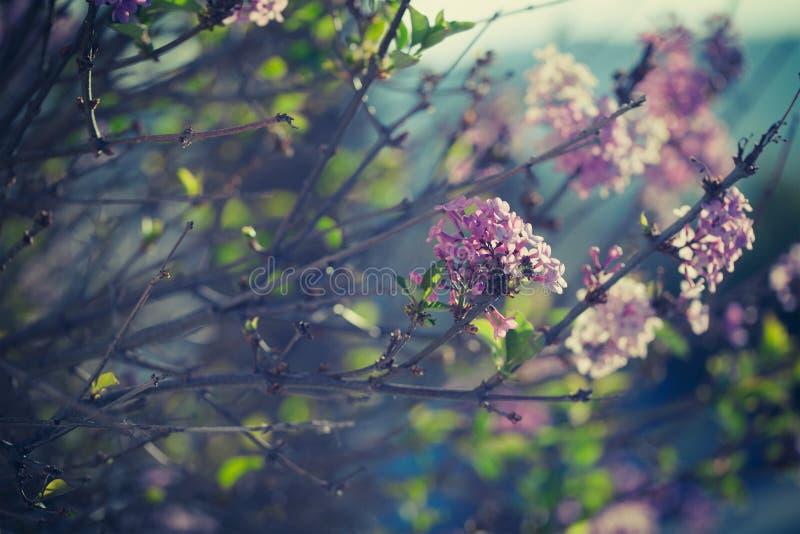 Primo piano di fioritura dei fiori lilla porpora della molla fotografia stock libera da diritti