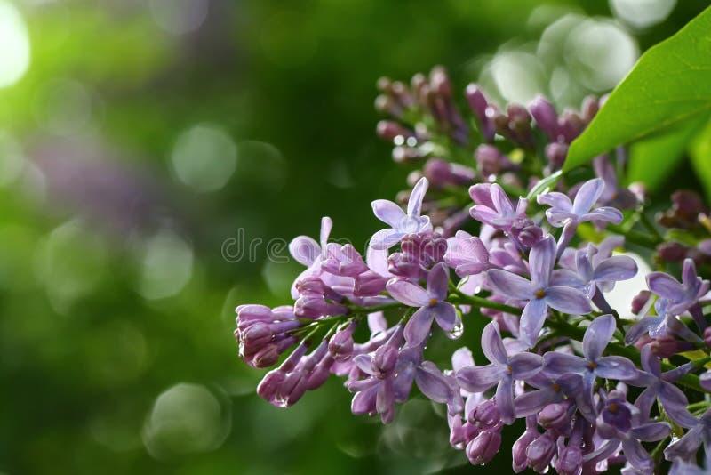 Primo piano di fioritura dei lillà fotografia stock