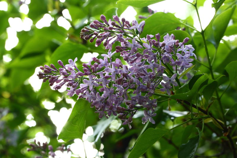 Primo piano di fioritura dei lillà fotografie stock libere da diritti