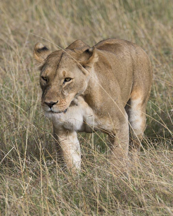 Primo piano di Frontview della leonessa che cammina nell'erba fotografia stock
