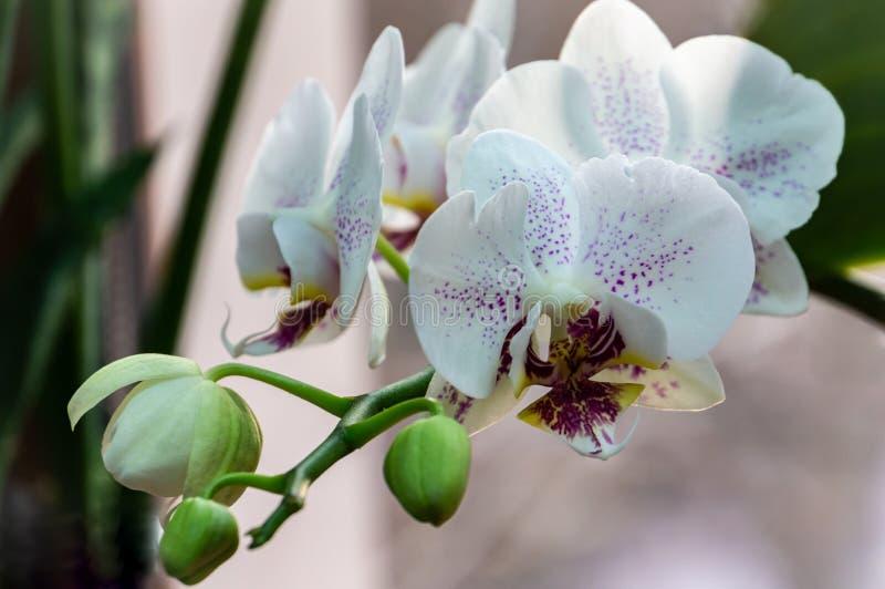 Primo piano di giallo, di rosso, il rosa e bianco barrato con phalaenopsis del fiore dell'orchidea dei punti conosciuta come l'or immagini stock libere da diritti