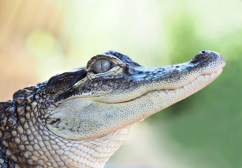 Primo piano di giovane alligatore immagini stock libere da diritti