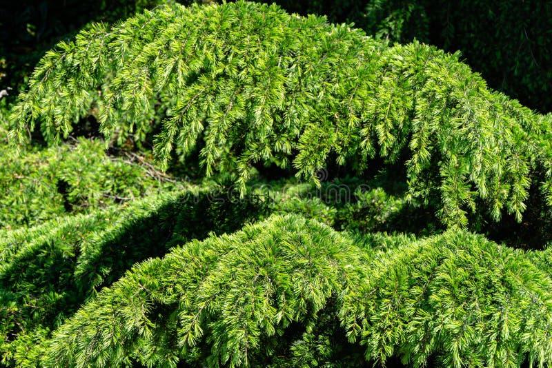 Primo piano di giovani brillantemente aghi di verde del cedrus deodara himalayano del cedro, deodara che cresce sulla costa di Ma immagine stock