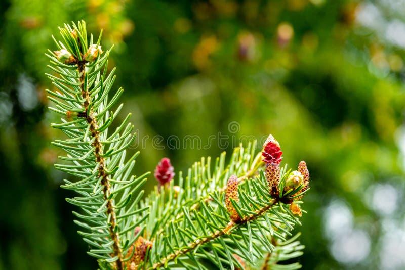 Primo piano di giovani pigne rosse sui rami del picea omorika sul fondo verde del bokeh Giorno soleggiato nel giardino di primave fotografie stock libere da diritti