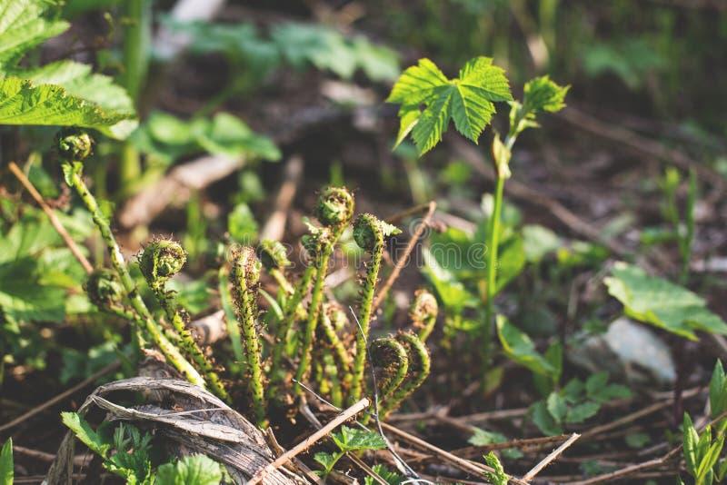 Primo piano di giovani shprouts verdi delle felci Glade della foresta Piante in natura Stagione di sorgente Nuova vita Riccioli d immagine stock