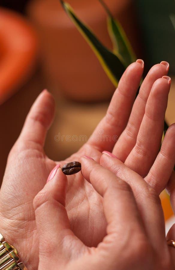 Primo piano di girl& x27; mani di s che mostrano il chicco di caffè arrostito in sue dita con fondo vago dietro fotografie stock libere da diritti