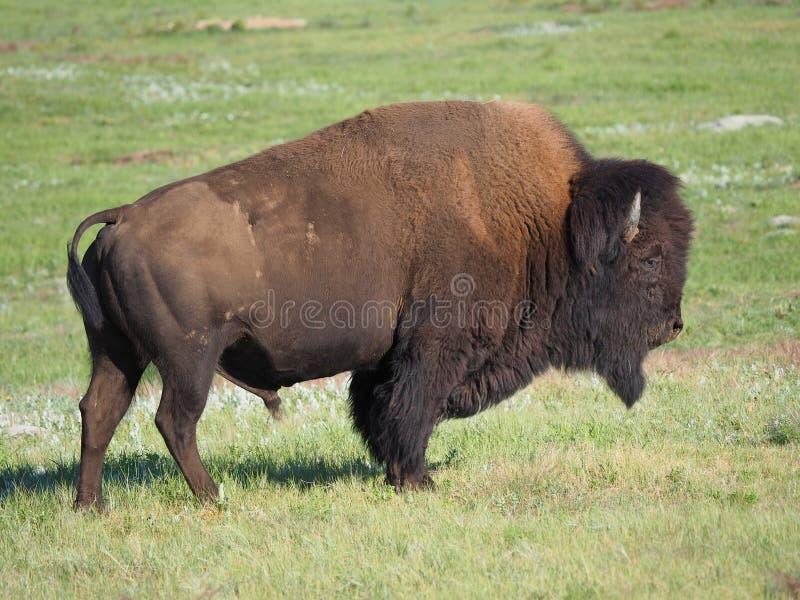 Primo piano di grande Buffalo o bisonte maschio, fotografie stock