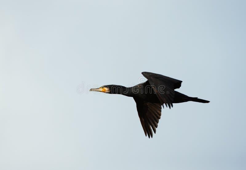Primo piano di grande Cormorant in volo fotografia stock libera da diritti