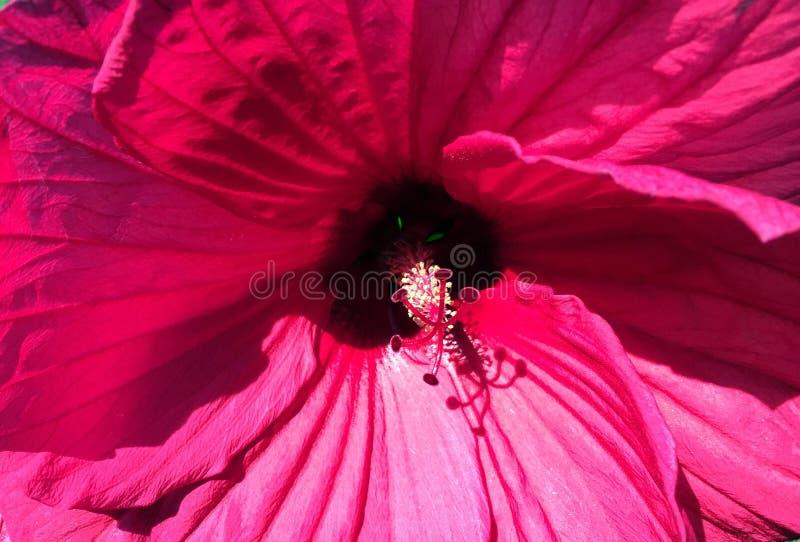 Primo piano di grande fiore rosso fotografia stock