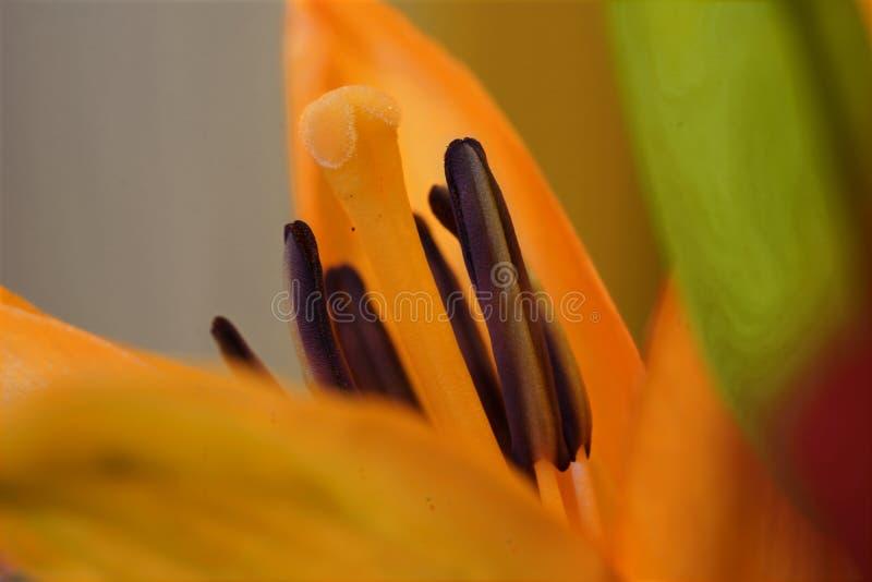 Primo piano di Lilly arancio immagine stock libera da diritti