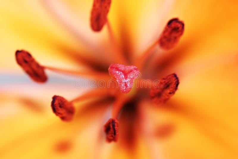 Primo piano di Lily Flower Stigma fotografia stock