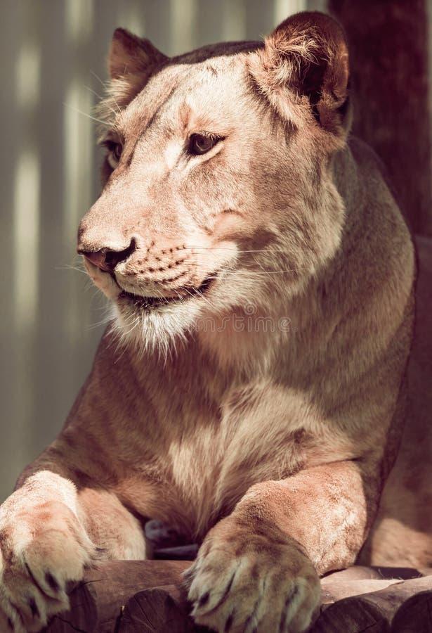 Primo piano di menzogne della leonessa immagine stock libera da diritti