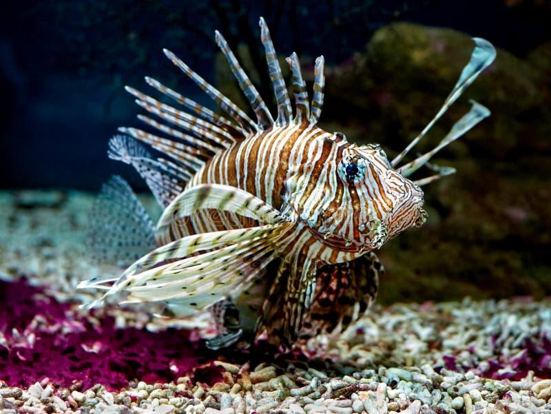 Primo piano di miglia del Pterois di firefish del diavolo o del Lionfish che galleggia in acquario fotografie stock libere da diritti