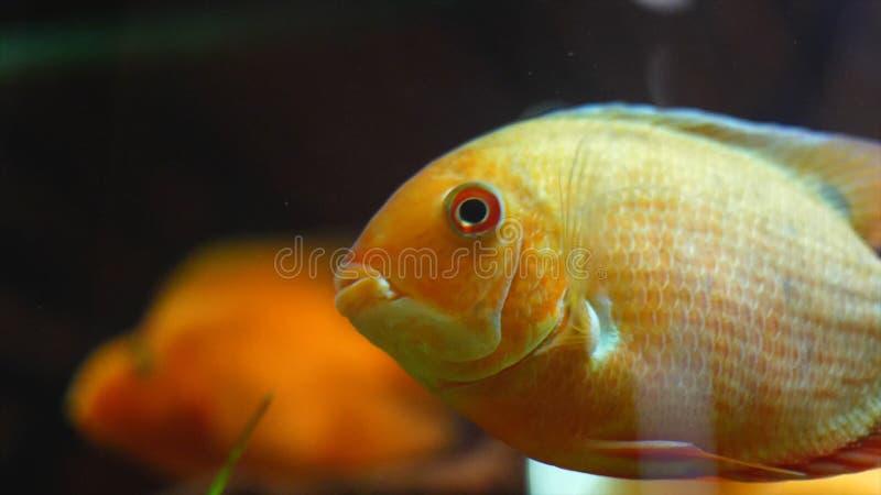 Primo piano di nuoto dorato del pesce in acquario Pagina Il grande pesce rosso tropicale con i punti bianchi nuota in acquario pu immagini stock libere da diritti