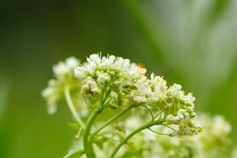 Primo piano di piccolo fiore selvaggio bianco su fondo vago fotografia stock libera da diritti