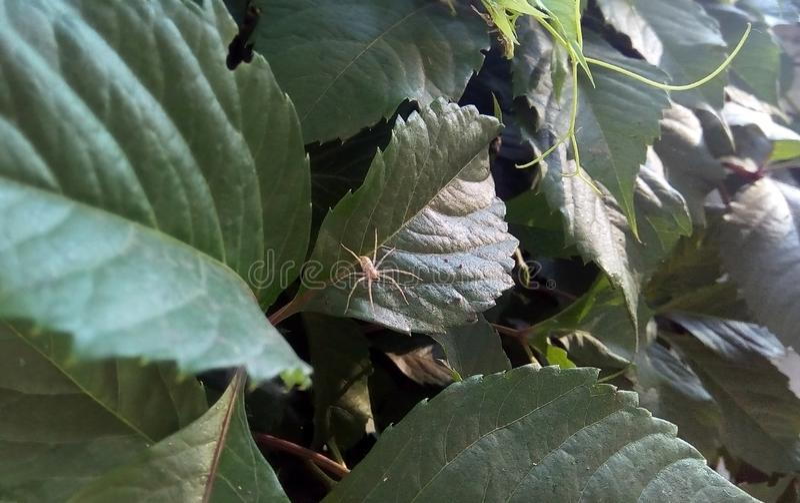 Primo piano di piccolo ragno leggero sulle foglie verdi dell'uva selvaggia immagine stock