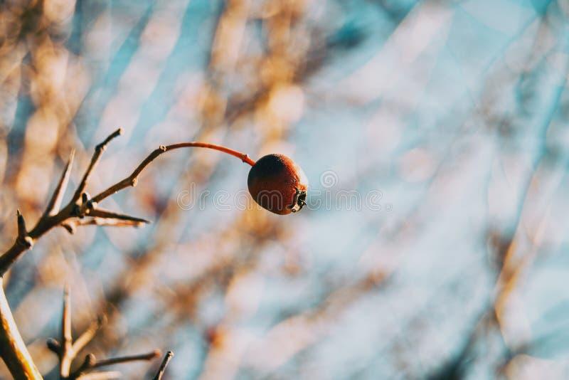 Primo piano di piccolo, in tondo e della frutta del cane della rosa rossa immagine stock
