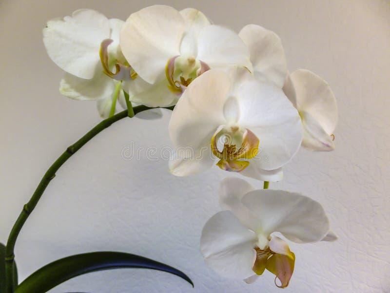 Primo piano di ramo bianco molto bello, di phalaenopsis conosciuta come l'orchidea di lepidottero o di Phal del fiore dell'orchid immagini stock libere da diritti