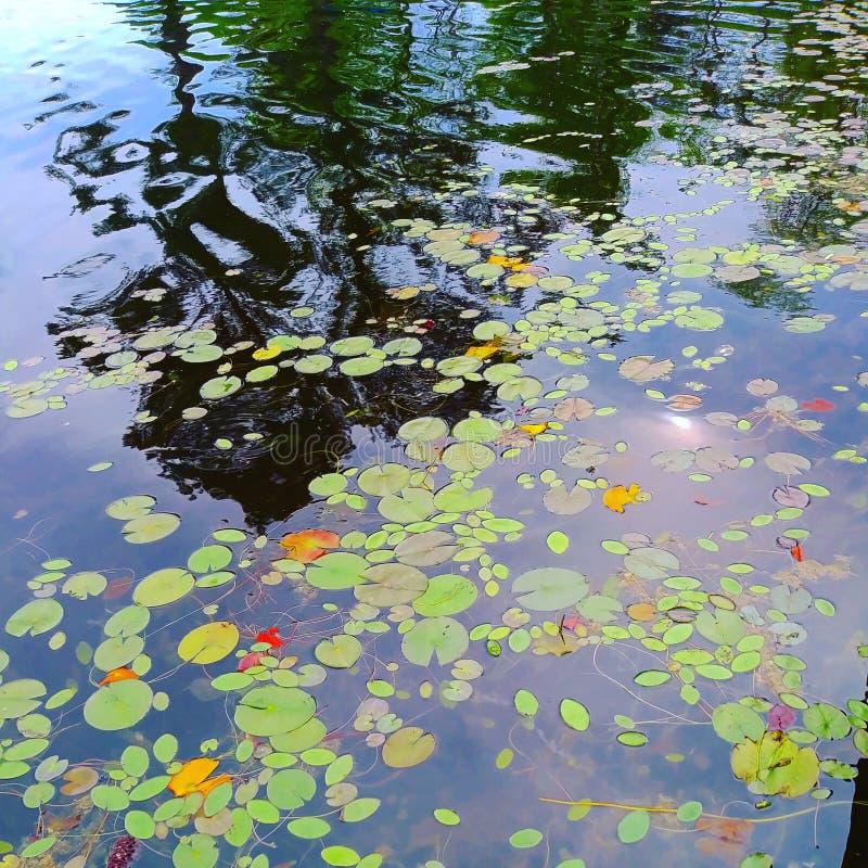 Primo piano di riflessione del fiume del lago dei gigli dello stagno immagine stock