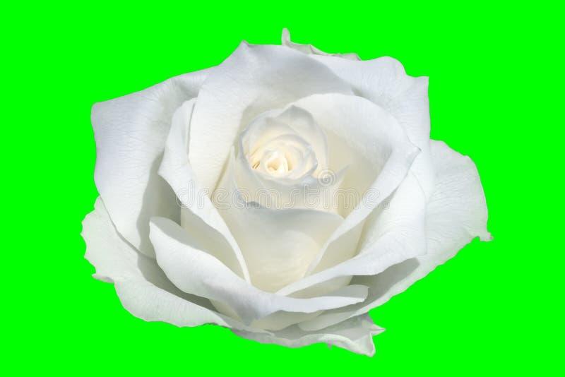 Primo piano di rosa di bianco illustrazione vettoriale