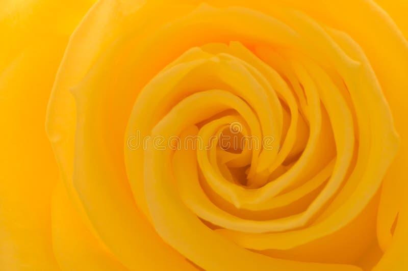Download Primo Piano Di Rosa Di Colore Giallo Fotografia Stock - Immagine di foto, yellow: 3878094