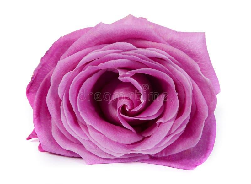 Primo piano di rosa di colore rosa immagini stock libere da diritti