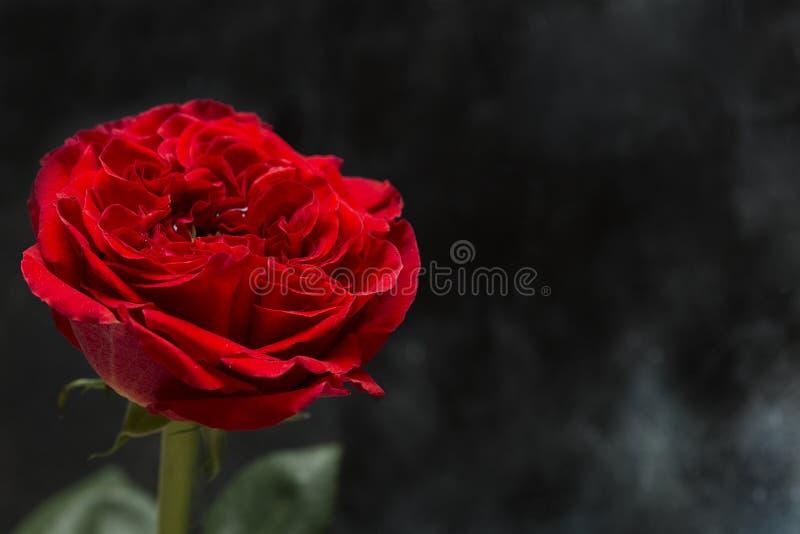 Primo piano di rosa di colore rosso fotografia stock