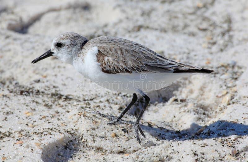 Primo piano di Sanderling nella sabbia immagine stock