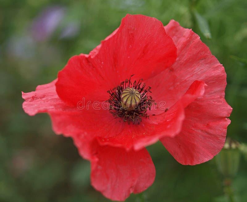 Primo piano di singolo fiore di fioritura del papavero fotografia stock libera da diritti