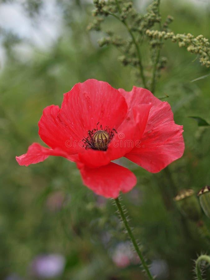 Primo piano di singolo fiore di fioritura del papavero fotografia stock