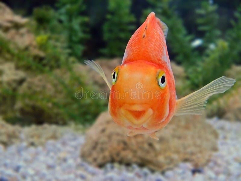 Primo piano di sorriso dei pesci dell'oro immagine stock libera da diritti