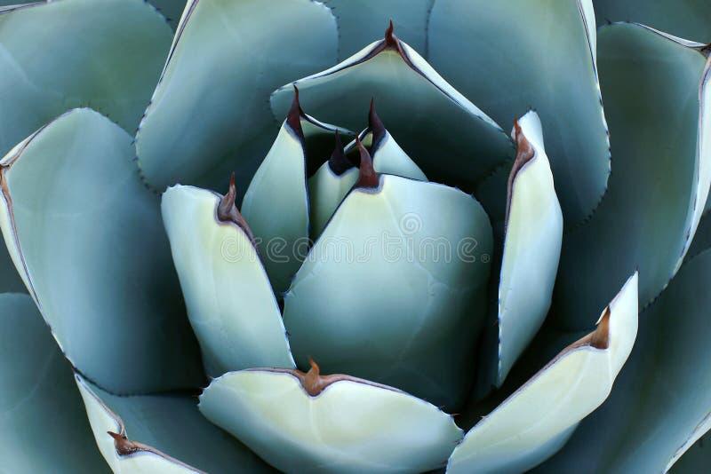 Primo piano di spese generali di pianta dell'agave immagini stock