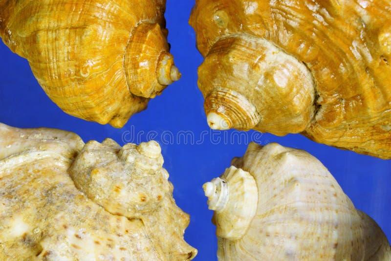 Primo piano di struttura delle conchiglie, regno marino di frattale a spirale Bello ricordo della conchiglia, un materiale per pr fotografia stock libera da diritti
