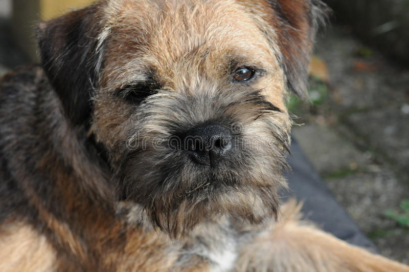 Primo piano di Terrier di confine fotografia stock libera da diritti