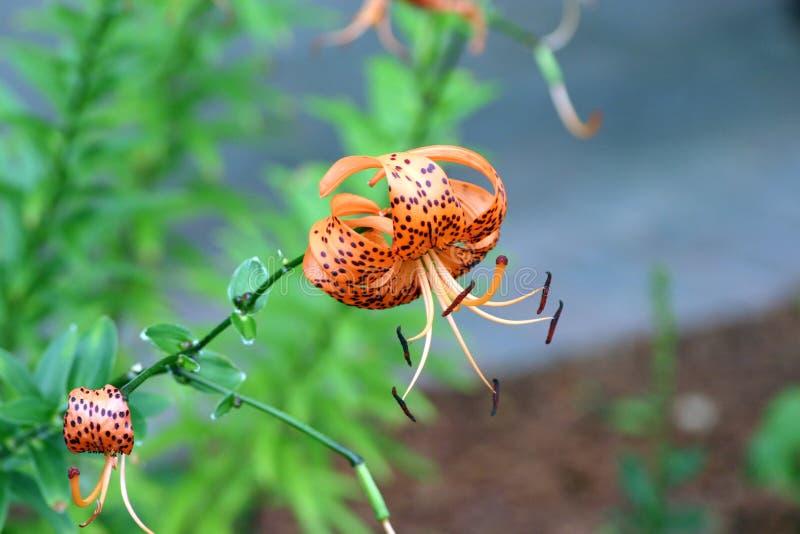 Primo piano di Tiger Lilly arancio e nero fotografie stock