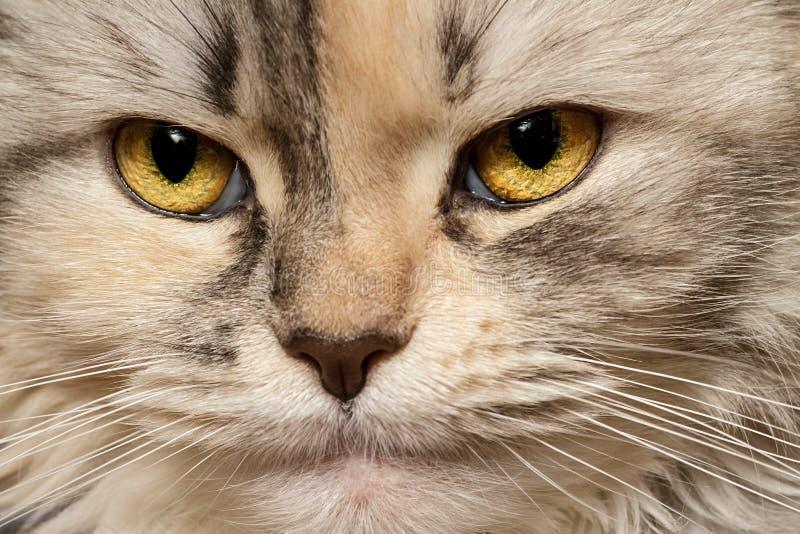 Primo piano di tricromia del gatto fotografia stock