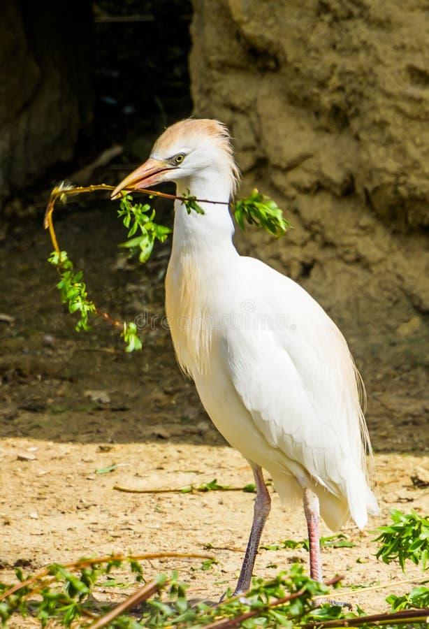 Primo piano di un airone guardabuoi che tiene un ramo, airone che raccoglie i rami, stagione riproduttiva dell'uccello durante la fotografie stock libere da diritti