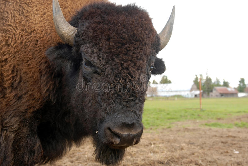Primo piano di un bufalo fotografie stock libere da diritti