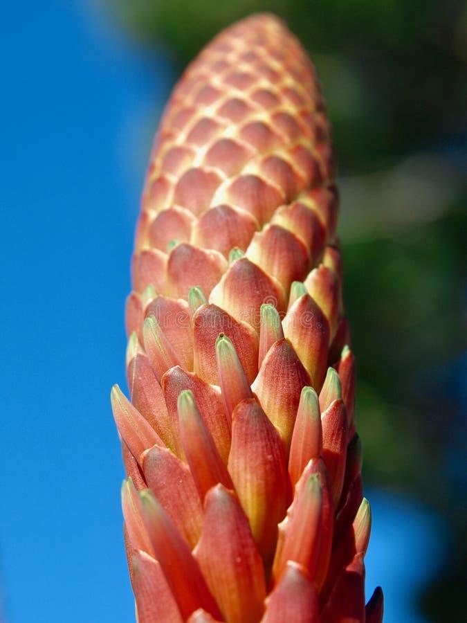 Primo piano di un cactus di fioritura rosso dell'agave fotografia stock