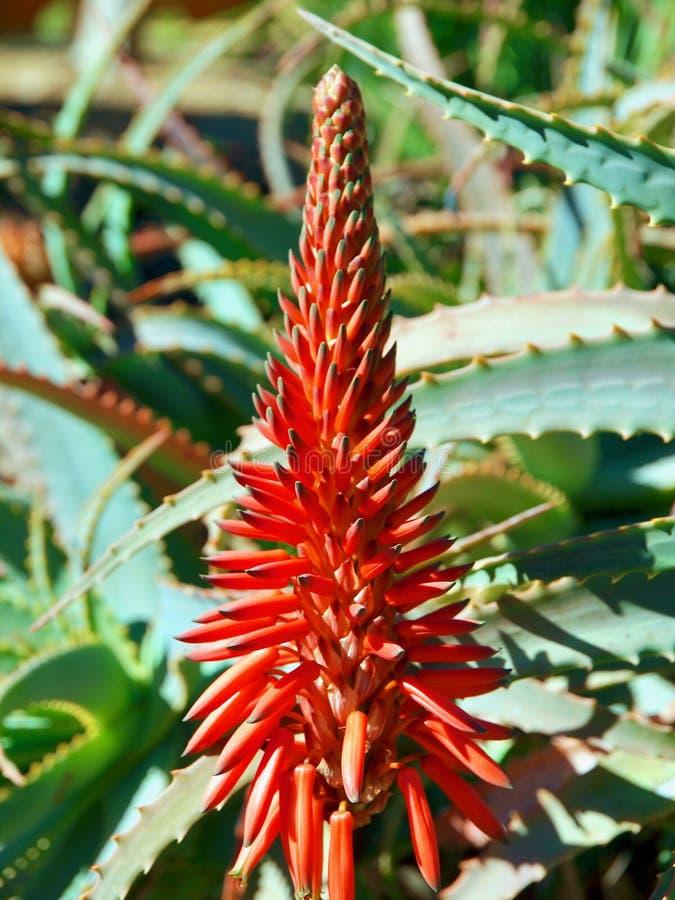 Primo piano di un cactus di fioritura rosso dell'agave immagini stock libere da diritti