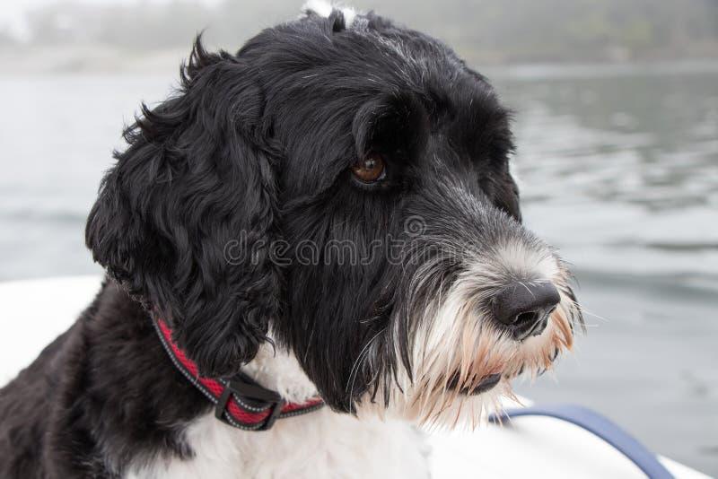 Primo piano di un cane da caccia in palude portoghese in bianco e nero che indossa un collare rosso fotografia stock libera da diritti